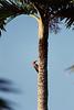 Yucatan Flicker