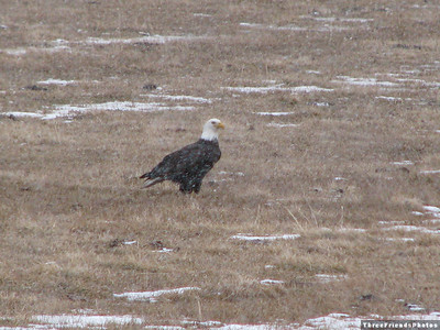 February - Bald Eagle, Washoe Valley, NV