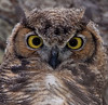 Great Horned Owl Youngster