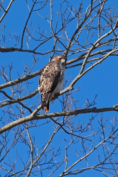Red-tailed Hawk - Buteo jamaicensis borealis, adult.