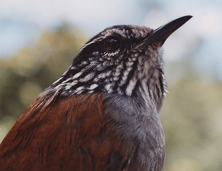 """Grey breasted wood wren""<br> Costa Rica, Cuerici Biological Station<br>"