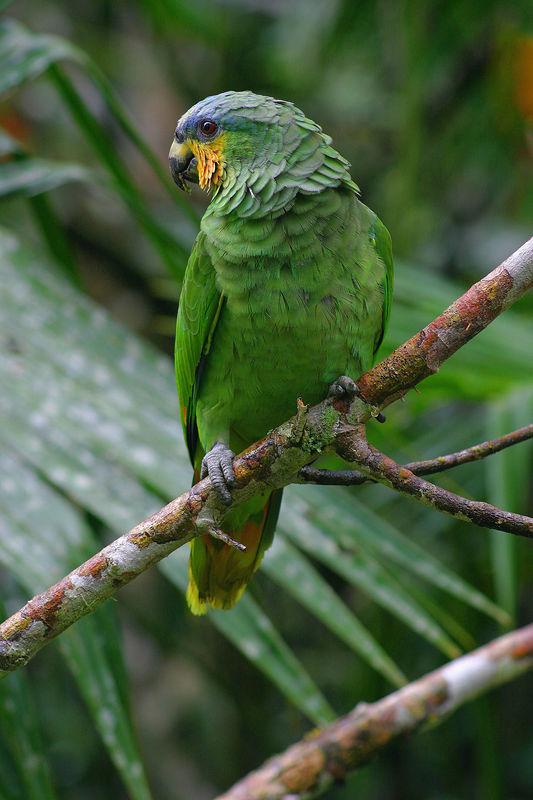 <font size=2>Orange Winged Parrot (<i>Amazona amazonica</i>) Yachana Reserve, Amazon Rainforest, Ecuador</b> </font>