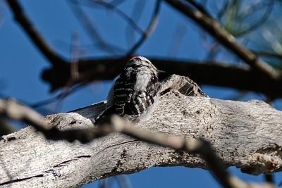 Downy Woodpecker - Dryobates pubescens, male.