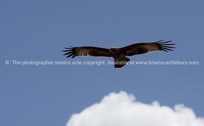Bird, Australian.