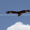Bird, Australian hawk.