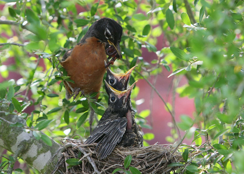 Momma Robin about to feed the babies.