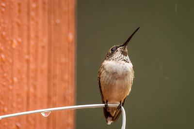 hummingbird in rain dark throat -7873
