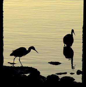 Egrets at sunrise, Marina Park, San Leandro, CA