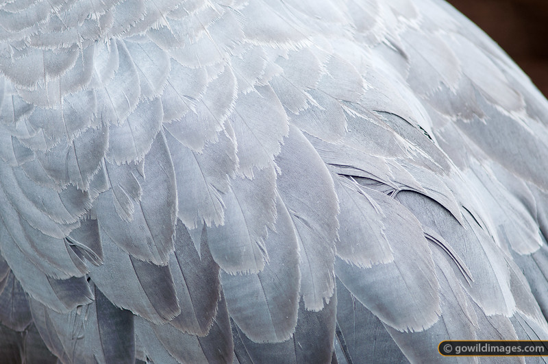 Brolga feathers