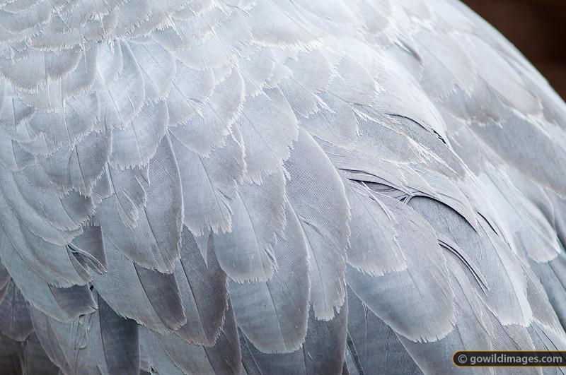Brolga feathers