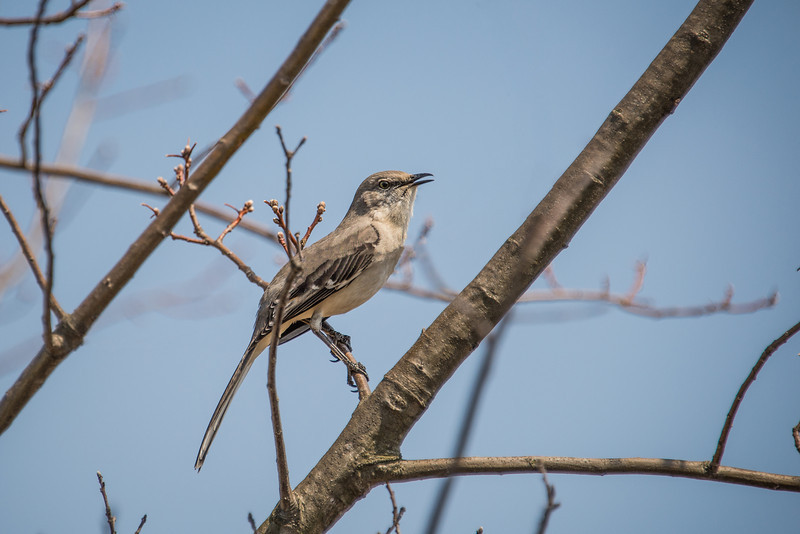Mockingbird at Wilson Farm Park - April 2013