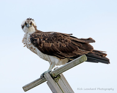 Osprey at Sunken Meadow State Park, NY.