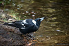 A Drinking Magpie