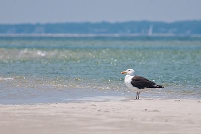 Herring Gull at Monomoy NWR on 20100618