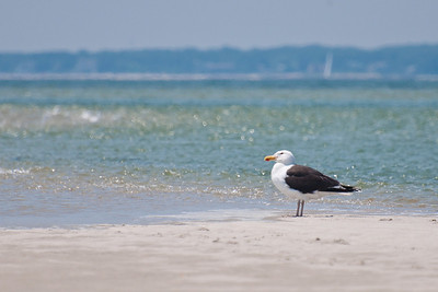 Herring Gull at Monomoy NWR on 20100618