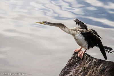 265/365 - White Faced Heron