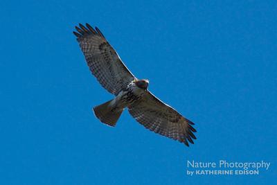 Hawk Overhead