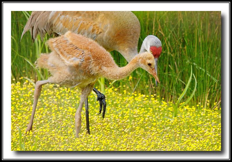 Sandhill Crane chick ~ 5 weeks old.