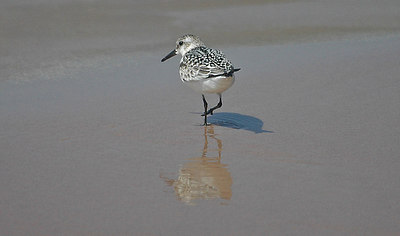 Sanderling at Little Point Sable