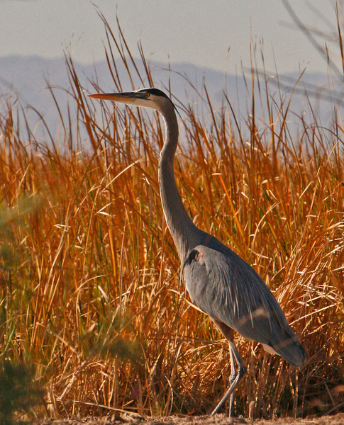 Great Blue Heron on watch for frogs