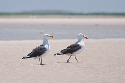 Herring Gulls at Monomoy NWR on 20100618