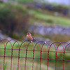 A chaffinch in our garden.