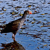 Purple Swamphen<br /> Also known as the Bald Coot, Eastern or Western Swamphen.<br /> <br /> The Purple Swamphen is mainly dusky black above, with a broad dark blue collar, and dark blue to purple below. As the Purple Swamphen walks, it flicks its tail up and down, revealing its white undertail. The bill is red and robust, and the legs and feet orange-red. For such a bulky bird, the Swamphen is an accomplished flier and will readily take to the air to escape danger. In flight, the long legs and elongated toes trail behind or hang underneath the body. Purple Swamphens are proficient swimmers, but prefer to wander on the edges of the water, among reeds and on floating vegetation.<br /> <br /> Captured with Canon EOS 6D+Canon 70-300mm f/4-5.6 Zoom Lens (non L) IS USM, ISO 1000, 1/1600sec, FL 300mm, F/8, processed using PS-cs5, image has been cropped