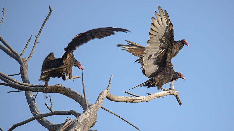 Turkey Vultures<br /> Glenwood, NM