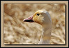 Snow Goose at Terra Nova in Richmond. (w/ Sigma 50-500)