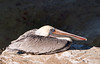 A Californian brown pelican (pelecanus occidentalis californicus) perched on a rock overlooking the ocean. Details of the long beak and eyes are clear.