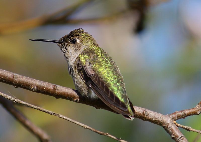 Costa's Himmingbird