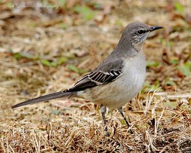 Mocking Bird at Wantagh , NY.
