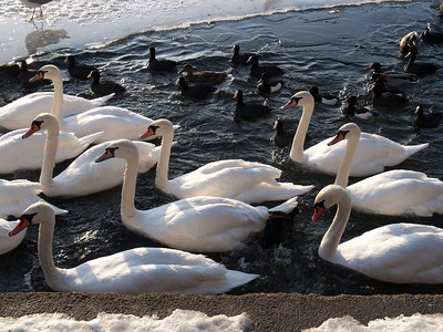 Swans and Ducks. Photo: Martin Bager.