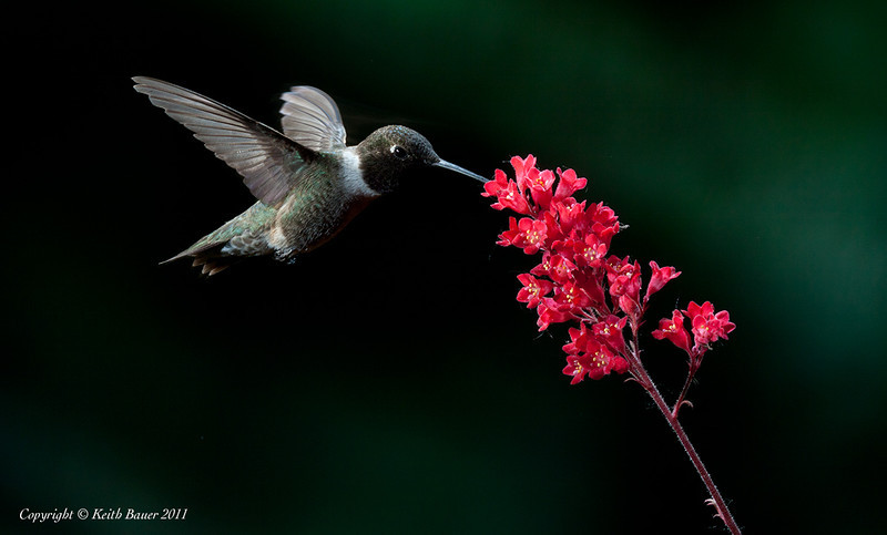 Male - Black Chinned Hummingbird