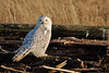 Snowy Owl at Boundary Bay, Delta BC