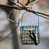 Woodpecker Eating