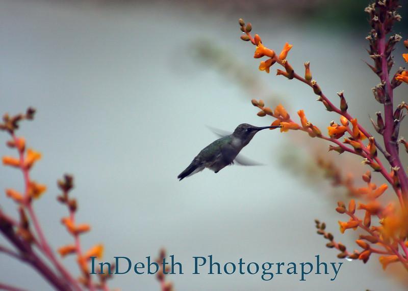 1798 humming bird