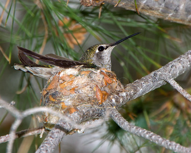 Mother hummingbird on nest.  Arizona