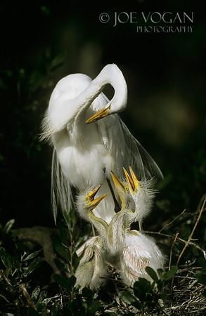 Great Egret, St. Augustine, Florida