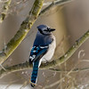 Male BlueJay