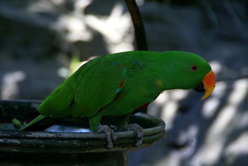 Eclectus Parrot (Eclectus roratus), Male