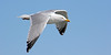 Seagull at Captree State Park.