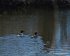 Merganser ducks