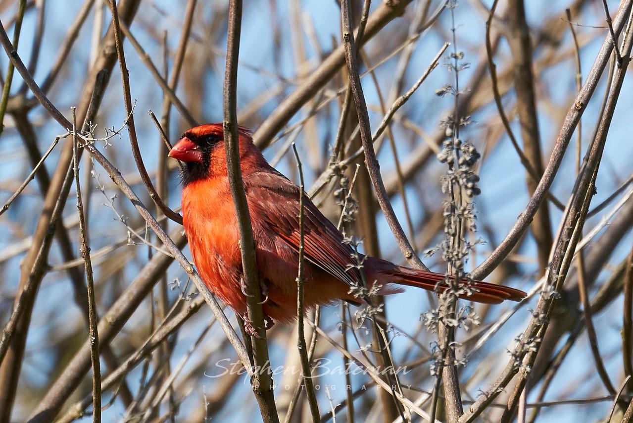 Cardinal Finch, Male