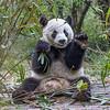 """Panda, Chengdu """"China"""""""