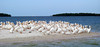 White Pelicans, Ten Thousand Islands, FL; only the California Condor has a greater wingspan
