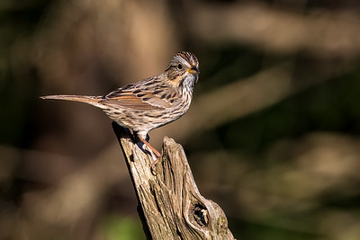 Some sort of Sparrow?  lol