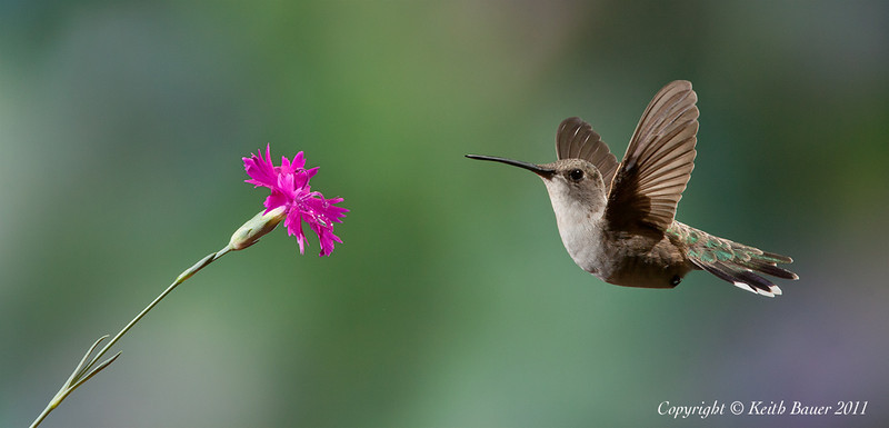 Black Chinned Female Hummingbird