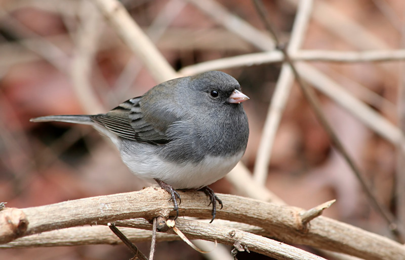 Dark-eyed (Slate colored) Junco