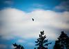 Bald Eagle over Bainbridge Island, WA